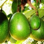 Блюда из авокадо на конкурсе в Андалусии