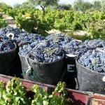 DO Vinos de Madrid  расширяет территорию виноградников