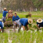 Праздники урожая риса в Тьеррас-дель-Эбро