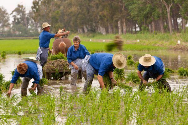 Сбор урожая риса в Тьеррас-дель-Эбро