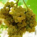 Галисия открыла проект винификации нового сорта винограда Ратиньо