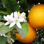 Цитрусовые фрукты в Испании: от истории к современности