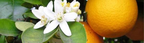 Цитрусовые фрукты в Испании