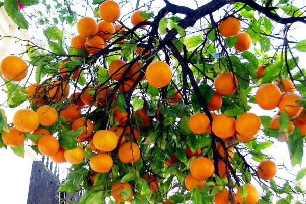 Урожай апельсинов в Андалусии