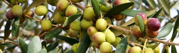 Новый оливковый завод в Вальядолиде принял на переработку первые оливки
