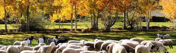 Арагонские овцы