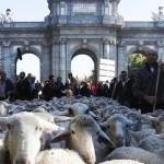 2000 овец прошли вчера по центру Мадрида