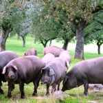 Иберийская свинина – лидер мяса на испанском рынке